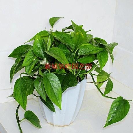 植物 高档/小绿萝室内高档小型花卉盆栽植物 吸味去甲醛 防辐射 美化环境