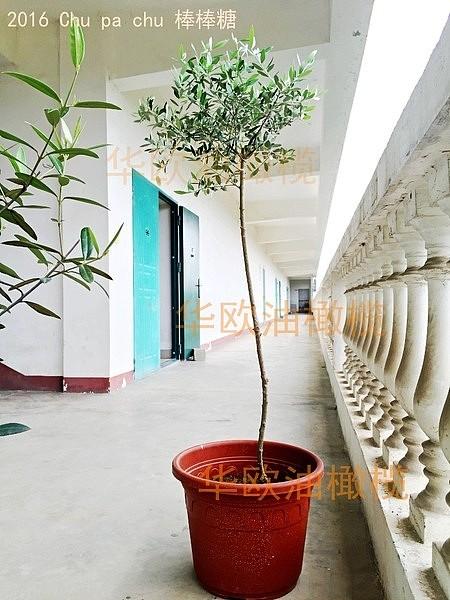 油橄榄树苗花盆栽 5年龄棒棒糖树形 阳台室内庭院绿植鲜花卉植物_图3