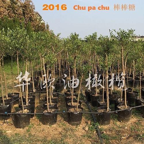 油橄榄树苗花盆栽 5年龄棒棒糖树形 阳台室内庭院绿植鲜花卉植物_图5
