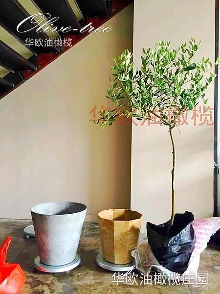 油橄榄树苗花盆栽 5年龄棒棒糖树形 阳台室内庭院绿植鲜花卉植物_图2