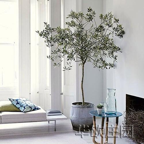 油橄榄树苗花盆栽 5年龄棒棒糖树形 阳台室内庭院绿植鲜花卉植物_图1