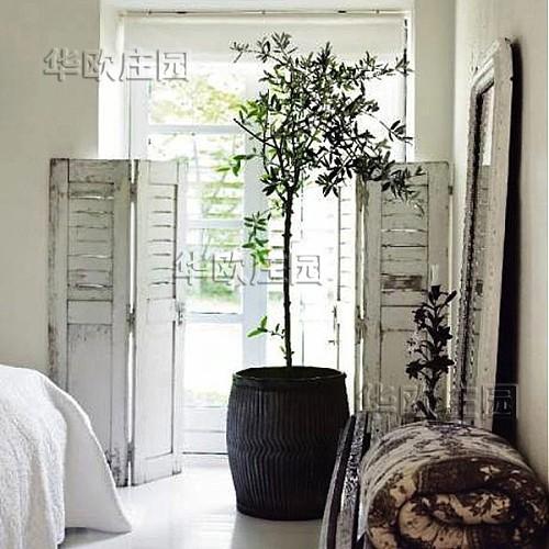油橄榄树苗花盆栽 5年龄棒棒糖树形 阳台室内庭院绿植鲜花卉植物_图4